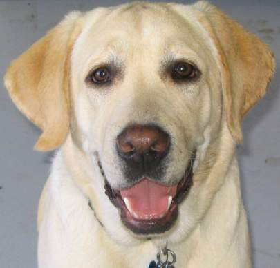 Close up of male yellow lab's face